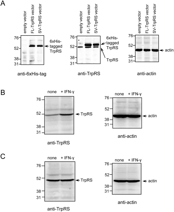 Western blot analyses of TrpRS in murine cell extracts. Samples were analyzed on 12.0% SDS-polyacrylamide gels and by Western blot analyses using anti-6xHis-tag, anti-TrpRS, or anti-β-actin antibodies. Molecular size markers (in kilodaltons) are shown on the left. (A) Western blot analysis of mouse TrpRS with 6xHis-tag. pcDNA4/HisMax©-TOPO®-mouse TrpRS expression vector or empty vector was transfected into Hepa 1–6 cell lines. (B) Western blot analysis of mouse TrpRS in cell extracts from Hepa 1–6 in the absence or presence of IFN-γ. (C) Western blot analysis of mouse TrpRS in cell extracts from RAW 264 in the absence or presence of IFN-γ.