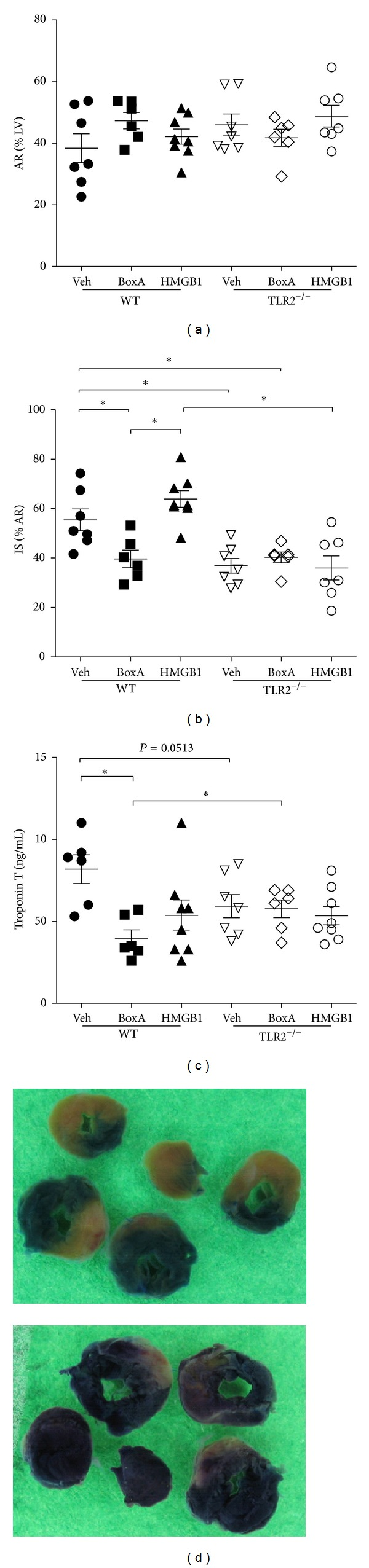 Quantification of myocardial damage after ischemia (30 min) and reperfusion (24 hrs). (a) The area at risk relative to the left ventricle (AR%LV) was not different between experimental groups. HMGB1 Box A reduced (b) infarct size relative to the AR (IS%AR) and (c) Troponin T plasma levels compared to vehicle-treated (Veh) WT animals. TLR2 −/− mice showed reduced myocardial damage compared to WT mice, whereas Box A had no protective effect in these animals. Injection with HMGB1 did not aggravate myocardial necrosis in both genotypes. (d) Hearts perfused with EvansBlue (EB, above) were cut into five equal sections, photographed, and incubated with p-nitro-blue-tetrazolium (NBT, below) for the quantification of AR and IS. * P