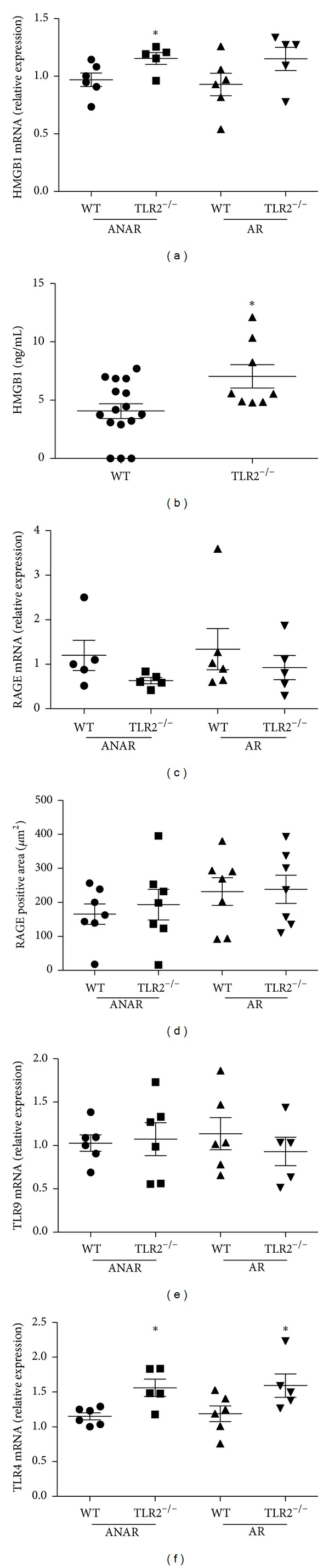 Expression levels of <t>HMGB1</t> and its receptors after MI/R (30 min/24 hrs). (a) A moderate up-regulation of HMGB1 mRNA can be detected in the area not at risk (ANAR) of TLR2 −/− animals, (b) accompanied by increased HMGB1 plasma levels. Expression levels of RAGE (c, d) or TLR9 (e) were not significantly different between genotypes while TLR2 −/− animals showed an up-regulation of TLR4 mRNA (f) compared to WT in ANAR and AR. * P