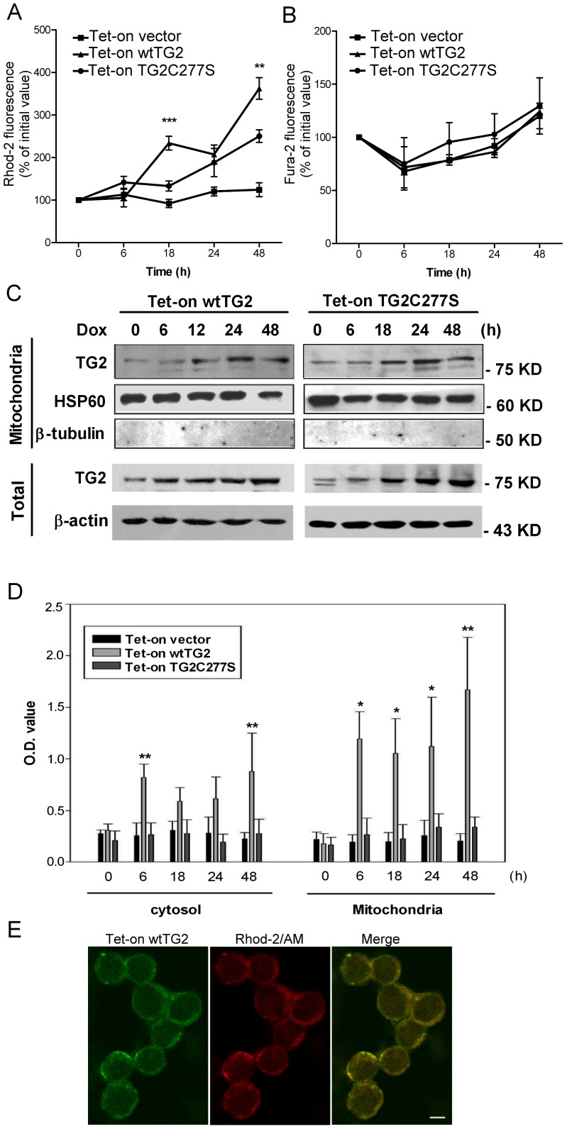 Overexpressed wtTG2 appears in the mitochondria and induces enhanced mitochondrial Ca 2+ accumulation. (A) Time dependent changes in the mitochondrial Ca 2+ concentrations of Tet-on vector, Tet-on wtTG2 and Tet-on TG2C277S cells following Dox (50 µM) treatment detected by Rhod-2/AM. (B) Time dependent changes in the cytosolic Ca 2+ concentrations of Tet-on vector, Tet-on wtTG2 and Tet-on TG2C277S cells following Dox (50 µM) treatment detected by <t>Fura-2/AM.</t> (C) Time dependent changes in the mitochondrial and cytoplasmic TG2 expressions of Tet-on wtTG2 and Tet-on TG2C277S cells following Dox (50 µM) treatment detected by Western blot analysis. Mitochondrial HSP60 and cytoplasmic β-actin were used as loading controls; while β-tubulin was used to check for cytoplasmic contamination of mitochondria. (D) Time dependent changes in the mitochondrial and cytoplasmic TG2 activities of Tet-on vector, Tet-on wtTG2 and Tet-on TG2C277S cells following Dox (50 µM) treatment. (E) Confocal images taken at 16 h following Dox treatment show Tet-on wtTG2 cells expressing TG2 (green) colocalized with the mitochondrial calcium indicator Rhod-2/AM (red). Scale bar = 5 µM. All the data presented represent mean±S.D. of at least three determinations. Significantly different from the TG2C277S cell line detected at the same time point (* P