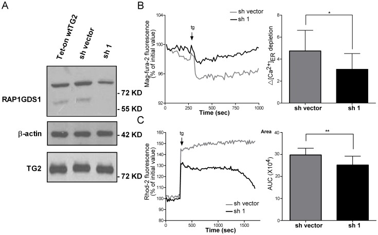 RAP1GDS1 mediates the enhancing effect of TG2 on the calcium release from ER and on the subsequent mitochondrial Ca 2+ uptake. (A) RAP1GDS1 and TG2 protein expression levels detected by Western blotting in Tet-on wtTG2, Tet-on wtTG2 with sh vector and Tet-on wtTG2 with shRAP1GDS1 (sh1) cells following 18 hours Dox (50 µM) treatment. β-actin was used as loading control. Tet-On wtTG2 with sh vector and sh1 cells treated with Dox for 18 hours were exposed to 5 µM thapsigargin. (B) A representative recording of the tg-induced Ca 2+ release from the ER recorded by Mag-Fura-2/AM fluorescence is shown. Right panel , statistical evaluation of the tg-induced ER Ca 2+ depletion. (C) A representative recording of the tg-induced intra-mitochondrial Ca 2+ changes is shown. Right panel , Area, statistical evaluation of integrated Ca 2+ response. AUC, area under the curve. These data are representative of at least three experiments and shown as mean ± SD. *, P