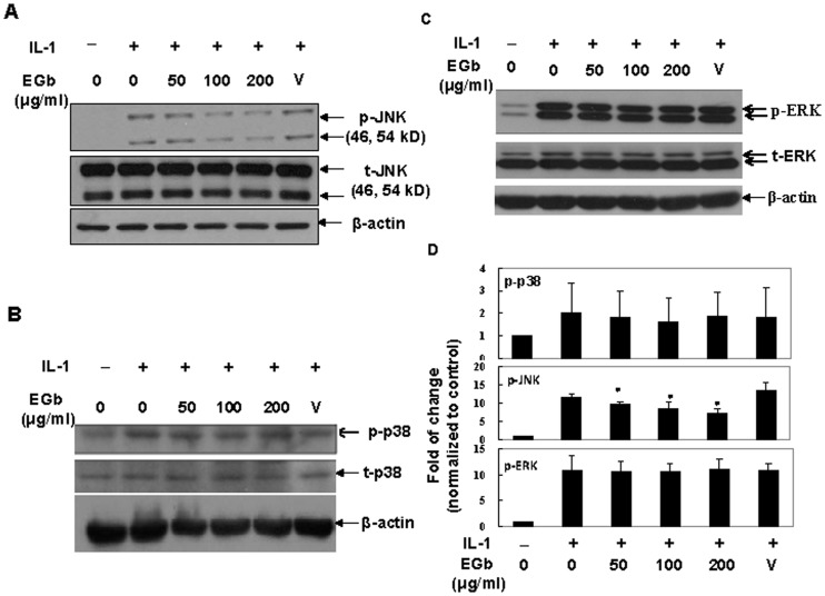 EGb inhibited IL-1-induced JNK but not p38 or ERK activity. Chondrocytes were pretreated with various concentrations of EGb for 72-1 for 15 min. The total cell lysates were analyzed by western blot using antibodies against un-phosphorylated or phosphorylated JNK (A), p38 (B) or ERK (C). The fold inductions of densitometric intensity of individual proteins equalized with β-actin, compared to those in un-stimulated samples, from more than 3 independent experiments using different donor cells (n = 5 for JNK and n = 3 for ERK and p38) are shown (Fig. 4D).