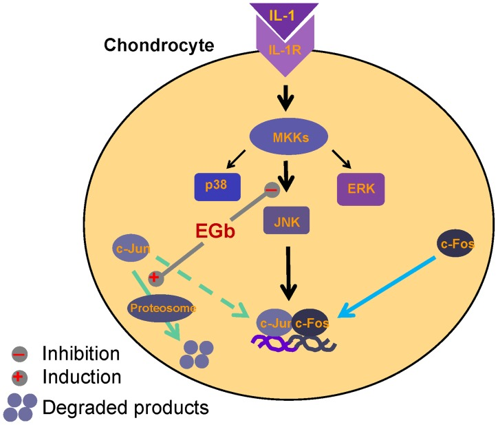 EGb independently and individually blocked IL-1-mediated activation of JNK and induced degradation of c-Jun in chondrocytes. Binding of IL-1 to its receptor causes activation of MAPK upstream kinases (MKKs) and subsequently MAPKs, including JNK, p38 and ERK. Activated MAPKs then stimulate AP-1. EGb through inhibiting JNK activity and inducing ubiquitination-dependent degradation of c-Jun suppressed IL-1-mediated effects in chondrocytes.