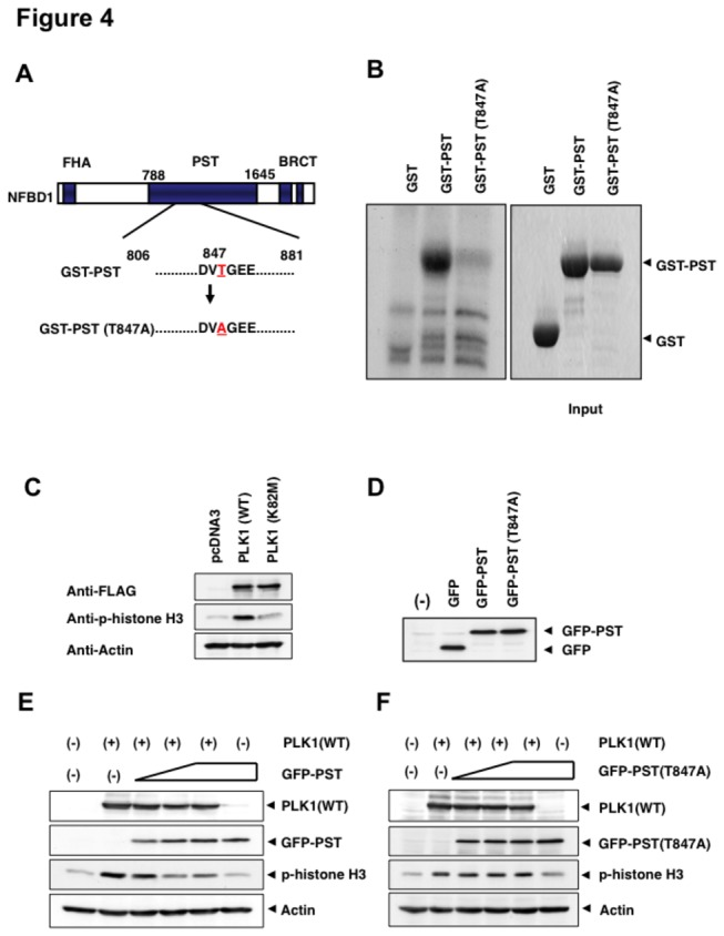 PLK1-mediated phosphorylation of NFBD1 is essential for the M phase entry. (A) Schematic representation of PST domains of wild-type NFBD1 and mutant form of NFBD1 termed GST-PST(T847A). (B) In vitro kinase reaction. GST, GST-PST, or GST-PST(T847A) were purified using glutathione Sepharose beads (right panel) and incubated with purified PLK1 in the presence of [γ- 32 P]ATP. The reaction mixtures were analyzed by SDS-PAGE followed by autoradiography (left panel). (C) Enforced expression of PLK1 but not the kinase-deficient mutant form of PLK1 [PLK1(K28M)] induces phospho-histone H3. HeLa cells were transiently transfected with the indicated expression plasmids. Forty-eight hours after transfection, whole cell lysates were prepared and immunoblotted with the indicated antibodies. (D) Expression of GFP-PST and GFP-PST(T847A). HeLa cells were transiently transfected with the expression plasmids. Forty-eight hours after transfection, whole cell lysates were prepared and immunoblotted with an anti-GFP antibody. (E and F) GFP-PST but not GFP-PST(T847A) inhibits the phosphorylation of histone H3. HeLa cells were transiently transfected with the expression plasmid for FLAG-PLK1 alone or FLAG-PLK1 and increasing amounts of GFP-PST (E) or GFP-PST(T847A) (F). Forty-eight hours after transfection, whole cell lysates were prepared and analyzed by immunoblotting with the indicated antibodies.