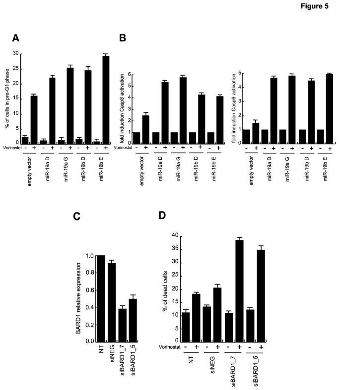 Modulation of miR-19a, miR-19b and BARD1increases mortality of U937 cells after Vorinostat treatment. ( A ) Cell death analysis in U937-mir cells after 24 h treatment with Vorinostat (5 µM). Data show the mean value of three parallel experiments with error bars showing the standard deviations on top of each column. (B) Caspase-8 and -9 activation in U937-mir cells treated for 24 h with Vorinostat (5 µM). Data show the mean value of three parallel experiments with error bars showing the standard deviations on top of each column. ( C ) BARD1 expression levels measured by Real-Time PCR in U937 cells transfected with specific siRNAs as indicated. Data show the mean value of three parallel experiments with error bars showing the standard deviations on top of each column. ( D ) Analysis of cell death by PI incorporation after 24 h of Vorinostat treatment (5 µM) in U937 siRNA-transfected cells. Data show the mean value of three parallel experiments with error bars showing the standard deviations on top of each column.