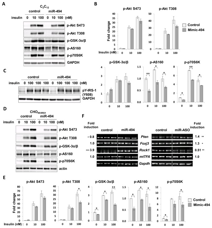 Effects of miR-494 on the insulin signaling pathway. The mimic form of miR-494 was overexpressed in cells. Cells were starved for 4 h before treatment with 0, 10, 100 nM of insulin for 20 min, and the levels of p-Akt (Ser473 and Thr308), p-AS160, p-p70S6K, and p-GSK-3α/β were measured in C 2 C 12 myoblasts (A) and CHO IR/IRS-1 cells (D). Bars show densitometric quantitation of phosphorylations of Akt, GSK-3α/β, AS160 and p70S6K in C 2 C 12 myoblasts (B) and CHO IR/IRS-1 cells (E). (C) The level of <t>p-IRS1</t> (Tyr608) was measured in insulin-treated C 2 C 12 myoblasts. GAPDH and actin were used as loading controls. Levels of phospho-proteins between miR-494 transfected cells and control were compared at each concentration of insulin. The values are expressed as the means ± SEM. *P