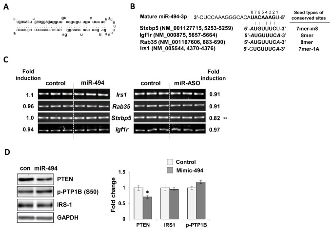 Regulation of putative target genes by miR-494. (A) The secondary structure of mouse premature(pre)-miR-494 (miRbase, Accession MI0003532). (B) Alignment of the seed matches in conserved sites of Stxbp5, Igf1r, Rab35, Irs1 genes at 3' untranslated region (3' UTR) and seed types of each target gene. Entrez accession numbers and binding position at 3' UTR are addressed for the representative transcript of each gene. Complementary sequences binding to miR-494 are shown in bold letters, with the m8 and A1 extensions highlighted in bold italic letters. Gene abbreviations: Stxbp5 , syntaxin binding protein 5; Igf1r , insulin-like growth factor 1 receptor; Irs1, insulin receptor substrate 1 (C) RT-PCR analysis for predicted target genes in miR-494 mimic- or miR-494 ASO-transfected C 2 C 12 cells. Gapdh gene was used as a loading control. (E) Immunoblot analysis of molecules related to the insulin signaling pathway. Cells were transfected with miR-494 mimic and subjected to immunoblot analysis. Antibodies for PTEN, p-PTP1B (S50) and IRS-1 were used. GAPDH was used as a loading control. The values were expressed as the means ± SEM and compared between miR-494 mimic transfected cells and control. *P