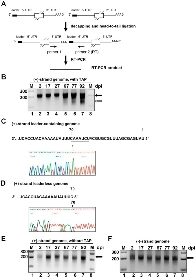 Identification of leaderless genomic RNA during BCoV persistent infection. (A) Strategy to identify positive-strand leaderless genomic RNA. Poly(A)-containing RNA was selected from total cellular RNA extracted from BCoV-persistently infected cells, treated with alkaline phosphatase, decapped with tobacco acid pyrophosphatase, head-to-tail ligated with T4 RNA ligase I, and used as the template for RT-PCR with the BCoV 5′ UTR-(+)-strand-specific primer 2: BCV107(+) (for RT) and BCoV 3′ UTR-(−)-strand-specific primer 1: BCV3′UTR1(−). (B) RT-PCR product synthesized by the method described in Fig. 1A. RT-PCR products with a size of more than 200 bp (lanes 2–7, marked with black arrowhead) and with a size of less than 200 bp (lanes 6–7, marked with white arrowhead) were observed. (C) The upper panel shows part of the first 88-nt sequence of the 5′ UTR in the positive-strand BCoV genomic RNA. The positions (1 and 70) are given on the top of the sequence, and the intergenic sequence (IS) UCUAAAC is underlined. The lower panel shows the sequence (shown in the negative strand) of the cDNA-cloned RT-PCR product with a size of more than 200 bp from lane 7, as indicated with a black arrowhead in Fig. 1B. (D) The upper panel shows the sequence of the 5′UTR on the positive-strand BCoV genomic RNA, which lacks the first 69 nts; position 70 is given on the top of the sequence. The lower panel shows the sequence (shown in the negative strand) of the cDNA-cloned RT-PCR product with a size of less than 200 bp from lane 7, as indicated with a white arrowhead in Fig. 1B. (E) Control reactions to determine if the positive-strand leaderless genome is a degradation product. RT-PCR product was synthesized by the method described in Fig. 1A except RNA sample was not treated with alkaline phosphatase and tobacco acid pyrophosphatase. RT-PCR products with a length of more than 200 bp were detected. (F) Identification of negative-strand leaderless genomic RNA. Total cellular RNA was treated with