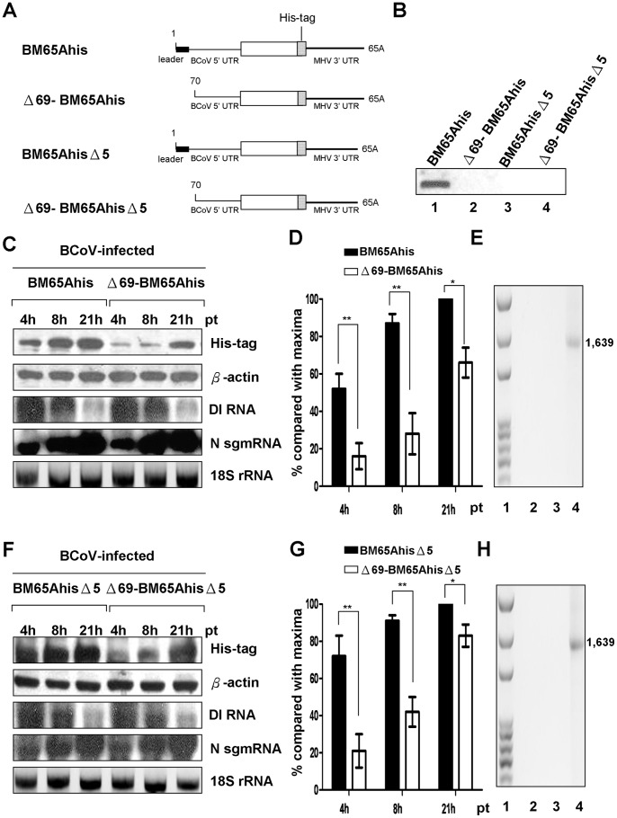 Effect of leaderless DI RNA on translation. (A) DI RNA constructs with a His-tag used for replication and translation assay. Each DI RNA construct has an open reading frame (open box), followed by an in-frame 18-nt His-tag coding region (stippled box) and MHV 3′ UTR. (B) Replication of DI RNA by Northern blot assay. RNA samples collected at 48 hpi of VP1 were used to determine the replication of the DI RNA. (C) and (F) Protein expression from the DI RNA constructs. BCoV-infected HRT-18 cells were transfected with the indicated DI RNA construct at 2 hpi, and total intracellular proteins or RNA was extracted at 4, 8, and 21 hpt for analysis. Western blotting was used to measure the abundance of His-tagged protein and β-actin. The levels of DI RNA, N sgmRNA, and 18S rRNA were measured by Northern blotting. (D) and (G) Quantitation analysis of the His-tagged protein from individual DI RNA constructs at different time points. (E) and (H) RT-PCR to detect a potential recombinant between the BCoV genome and DI RNA. The primers MHV3′UTR2(+), which anneal to the MHV 3′ UTR and was used for RT, and M3(−), which anneal to the BCoV M protein gene, were used for PCR to detect potential recombination between the BCoV genome and BM65Ahis (Fig. 2E, lane 2), Δ69-BM65Ahis (Fig. 2E, lane 3), BM65AhisΔ5 (Fig. 2H, lane 2), or Δ69-BM65AhisΔ5 (Fig. 2H, lane 3). The recombinant DNA of 1,639 nt shown in lane 4 of Figs. 2E and 2H was generated by overlap RT-PCR and was used as a size marker for the product generated using the primers MHV 3′ UTR2(+) and M3(−). The values (D) and (G) represent the mean±SEM of three individual experiments. *p