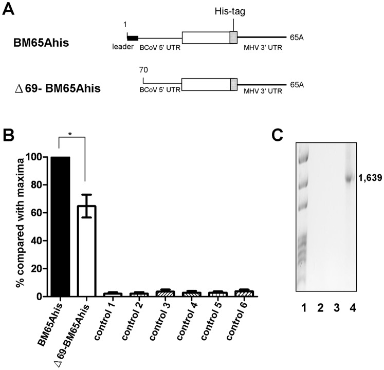 Effect of leaderless DI RNA on negative-strand synthesis. (A) DI RNA constructs used to test the efficiency of negative-strand DI RNA synthesis. (B) Quantitation analysis of negative-strand DI RNA synthesis, as measured by qRT-PCR. BCoV-infected HRT cells at 2 hpi were transfected with the indicated DI RNA, and total cellular RNA was extracted at 8 hpt to determine the efficiency of negative-strand synthesis for BM65Ahis and Δ69-BM65Ahis. Controls for qRT-PCR: control 1, total cellular RNA from mock-infected cells; control 2, total cellular RNA from BCoV-infected cells; control 3, total cellular RNA from BM65Ahis -transfected mock-infected cells; control 4, total cellular RNA from Δ69-BM65Ahis -transfected mock-infected cells; control 5, a mixture of BCoV-infected cellular RNA extracted at 8 hpt and BM65Ahis transcript; control 6, a mixture of BCoV-infected cellular RNA extracted at 8 hpt and Δ69-BM65Ahis transcript. (C) RT-PCR to detect potential recombination between the BCoV genome and DI RNA. The same strategy described in Fig. 2E and 2H was used here for the detection of potential recombination between the BCoV genome and BM65Ahis (Fig. 3C, lane 2) or Δ69-BM65Ahis (Fig. 3C, lane 3). A recombinant DNA of 1,639 nt was produced to serve as a size marker, as described for Fig. 2E and 2H. The values (B) represent the mean±SEM of three individual experiments. *p