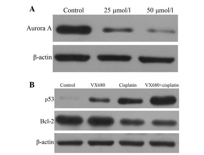 (A) Hepatocellular carcinoma (HepG2) cells were cultured with varying concentrations of VX680 (25 and 50 μmol/l) for 24 h. All cells were collected and analyzed by western blot analysis with an anti-Aurora A antibody. (B) HepG2 cells were treated with 3.125 μmol/l VX680, 0.5 μg/ml cisplatin or a combination of the two for 72 h. Cell lysates were collected and analyzed by western blot analysis with anti-p53, anti-Bcl-2 and anti-β-actin antibodies. The protein level for each group was compared with that of the control group.