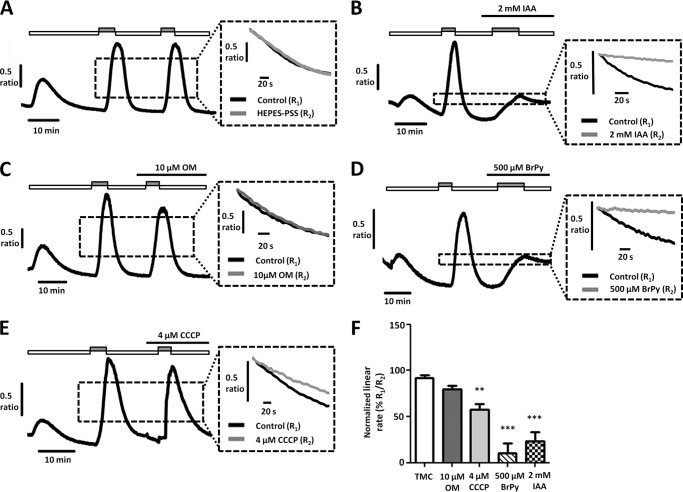 Glycolytic inhibitors, but not mitochondrial inhibitors, inhibit PMCA activity and store-operated Ca 2+ entry in MIA PaCa-2 cells. A–E , representative traces show the in situ [Ca 2+ ] i clearance assay (PMCA activity) in fura-2-loaded MIA PaCa-2 cells. CPA (30 μ m ) was applied in zero external Ca 2+ with 1 m m EGTA ( white box ) or 20 m m Ca 2+ ( gray box ) to induce store-operated Ca 2+ influx. Subsequent removal of external Ca 2+ resulted in [Ca 2+ ] i clearance. This influx-clearance phase was repeated using a paired experimental design, and metabolic inhibitors were applied during this second influx-clearance phase. The inset of each trace shows expanded time courses comparing the second ( gray trace ) with the first clearance phase ( black trace ) in the presence of each metabolic inhibitor. A , TMC; B , 2 m m IAA; C , 10 μ m OM; D, 500 μ m BrPy; E , 4 μ m CCCP. Linear clearance rate over 60 s during the second clearance phase was normalized to that of the first (% relative clearance). F , normalized linear rate (± S.E.). **, p