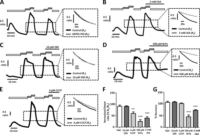Glycolytic inhibitors, but not mitochondrial inhibitors, inhibit PMCA activity in MIA PaCa-2 cells. A–E , representative traces show a modified protocol in situ [Ca 2+ ] i clearance assay (PMCA activity) in fura-2-loaded MIA PaCa-2 cells. Ca 2+ influx was induced before application of test reagents to isolate their effects on clearance. CPA (30 μ m ) was applied in the absence of external Ca 2+ with 1 m m EGTA ( white box ) or 20 m m Ca 2+ ( gray box ) to induce store-operated Ca 2+ influx. 1 m m La 3+ was then applied at the peak of Ca 2+ influx ( striped box ). Subsequent removal of external La 3+ with 1 m m EGTA after 5 min allowed [Ca 2+ ] i clearance. This influx-clearance phase was repeated, and metabolic inhibitors were applied during this second influx-clearance phase. Each inset trace shows expanded time courses comparing the second clearance phase ( gray trace ) with the first ( black trace ) in the presence of each metabolic inhibitor. A , TMC; B , 2 m m IAA; C , 10 μ m OM; D , 500 μ m BrPy; E , 4 μ m CCCP. Linear clearance rate over 60 s during the second clearance phase was normalized to that of the first (% relative clearance). Recovery during the second clearance phase was normalized to the base-line [Ca 2+ ] i before the first influx-clearance phase. F , normalized linear rate (± S.E.). G , recovery (± S.E.). **, p