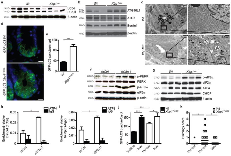 PERK/eIF2α signaling induces autophagy in Xbp1 -deficient intestinal epithelial cells a, b, Immunoblot for LC3 conversion in isolated primary IECs ( a ) ( n =5/4) and for autophagy proteins in primary IEC scrapings ( b ) ( n =3). c, Transmission electron microscopy (TEM) of crypts. Note autophagic vacuoles in various stages of evolution in Xbp1 ΔIEC hypomorphic Paneth cells. d, e, Crypt showing GFP-LC3 punctae ( d ), quantified in ( e ) ( n =10; unpaired Student's t-test). Bar, 5 μm. f, g, Immunoblot of silenced MODE-K cells ( f ) and primary IEC scrapings ( g ) for the PERK/eIF2α branch ( n =3). h, i, Promoter sequence qPCR for Map1lc3b ( LC3b ) ( h ) and Atg7 ( i ) after anti-ATF4 ChIP (unpaired Student's t-test). j, GFP-LC3 punctae per crypt after treatment with <t>tamoxifen</t> for 3 days and vehicle or salubrinal ( n= 10; one-way ANOVA with post-hoc Bonferroni). ( k ) Enteritis histology score after salubrinal and tamoxifen co-treatment ( n =12/14/13; median shown; Kruskal-Wallis with post-hoc Holm's-corrected Mann-Whitney U). Results represent three ( a, f, g ) or two ( c, e, h, i ) independent experiments. * P