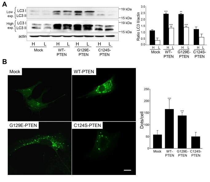 PTEN expression in U87MG cells increases the formation of autophagosomes. A ) U87MG cells expressing WT-PTEN, C124S-PTEN and G129E-PTEN or mock-treated were incubated in high (H) or low (L) proteolysis media (see Materials and Methods) for 2 h in the presence of lysosomal inhibitors (100 µM leupeptin and 20 mM NH 4 Cl). Extracts (75 µg protein) were analyzed by SDS-PAGE and immunoblot, with low and high exposure (exp.), using an antibody against LC3 and, as a loading control, an antibody that recognizes actin. A representative experiment is shown. The position of LC3-I and LC3-II bands are indicated on the left and molecular weight markers are indicated on the right. The histogram on the right shows the means ± SD of the densitometric analysis of the LC3-II/actin ratios from five different experiments. Stars indicate statistically significant differences from the corresponding (high or low proteolysis conditions) values in mock-treated cells at ** p