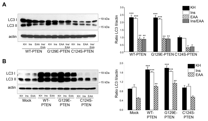 PTEN expression in U87MG cells increases the formation of autophagosomes under various proteolysis conditions. U87MG cells expressing WT-PTEN, G129E-PTEN or C124S-PTEN ( A ) and mock-treated U87MG cells or expressing WT-PTEN or C124S-PTEN ( B ) were incubated under high (KH), intermediate (Ins or EAA)( A and B ) and low (Ins/EAA)(only in A ) proteolysis conditions for 2 h as in Figure 5C in the presence of lysosomal inhibitors (100 µM leupeptin and 20 mM NH 4 Cl). Extracts (75 µg protein) were analyzed by SDS-PAGE and immunoblot with antibodies that recognize LC3 and, as a loading control, actin. The position of LC3-I and LC3-II bands are indicated on the left and molecular weight markers are indicated on the right. The Western blots on the left show representative experiments and the histograms on the right show the means ± SD of the densitometric analysis of the LC3-II/ratios from five different experiments. Stars indicate statistically significant differences from the corresponding (high, intermediate or low proteolysis conditions) values in the cells expressing the C124S PTEN mutant ( A ) and mock-treated cells ( B ) at ** p