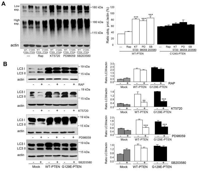 Inhibition of the ubiquitin-proteasome pathway and activation of autophagy by PTEN in U87MG cells are independent of mTOR. U87MG cells expressing WT-PTEN or C124S-PTEN ( A ) or WT-PTEN or G129E-PTEN and mock-treated ( B ) were incubated for 18 h with doxycycline and in the last 2 h the following inhibitors were added as indicated: rapamycin (RAP, 200 mM, mTOR inhibitor), KT5720 (25 µM, PKA inhibitor), PD98059 (10 µM, ERK1/2 inhibitor) and SB203580 (10 µM, p38 inhibitor). Before collecting the cells, proteasome (50 µM MG132, A ) and lysosomal (100 µM leupeptin and 20 mM NH 4 Cl, B) inhibitors were also added for 1 h. Total lysates were analyzed by SDS-PAGE and Western blot with antibodies that recognize ubiquitinated proteins (FK1) ( A ), LC3 ( B ) and, as a loading control actin. Molecular weight markers are indicated on the right and in B the position of LC3-I, and LC3-II bands are also shown. The histograms on the right show means ± SD of the densitometric measurements from three different experiments and are expressed as amounts of ubiquitinated proteins (ubiq. prot.) normalized to the levels of actin ( A ) or as LC3II/actin ratios ( B ). Stars indicate statistically significant differences from the values without the corresponding inhibitor treatment at ** p