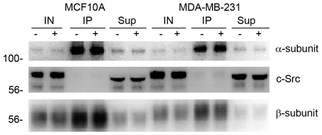 Src kinase does not coimmunoprecipitate with α-subunit in MCF10A or MDA-MB-231 cells. MCF10A and MDA-MB-231 cells were treated with (+) or without (-) 500 nM ouabain for 24 hours. Lysates were collected and subject to immunoprecipitation using a rabbit anti-α antibody, raised against Na,K-ATPase α-subunit's M4/M5 cytoplasmic loop. 10% of the initial lysate (IN), the co-immunoprecipitated proteins (IP), and 10% of the unbound supernatant (Sup) after IP were used for western blots. Western blot analysis was performed and probed using mouse anti-Na,K-ATPase α 1 -subunit, mouse anti-Src, and mouse anti-Na,K-ATPase β 1 subunit antibodies.
