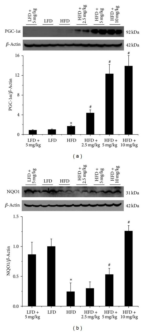 BL153 upregulated renal PGC-1 α and <t>NQO1</t> expression. PGC-1 α and NQO1 expression was detected by western blot assay. n = 5; * P
