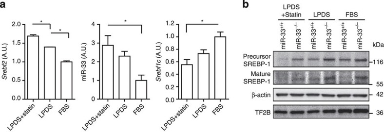 SREBP-1 is regulated by endogenous changes in miR-33 in vitro . ( a ) RNA expression levels in Srebf2 , miR-33 and Srebf1c in primary hepatocytes cultured in DMEM supplemented with 5% FBS or 5% LPDS with or without statin treatment. Values are the mean±s.e.m. ( n =3 each for Srebf2 and Srebf1c , n =4–6 each for miR-33, * P