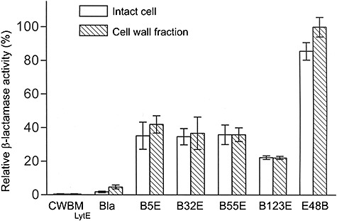 Relative β‐lactamase activities of wall‐bound fusions on the surface of intact cells and in the cell wall fraction. Cell wall fraction is defined as the supernatant fraction generated after centrifugal removal of protoplasts from the intact cell samples that have been treated with lysozyme. β‐Lactamase activity was determined in the presence of BSA. The activity from the cell wall fraction of E48B was set as 100%. Three independent experiments were carried. CWBM LytE : cell wall‐binding module from LytE. Bla: secreted TEM‐β‐lactamase. This is the mature form of β‐lactamase in the culture supernatant of WB800[pWB980‐Bla]. Secretion of this protein is directed by the B. subtilis SacB signal peptide.