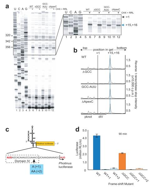 Biochemical analysis of AUG docking and potential frame-shifting ( a ) Denaturing sequencing gel of the reverse transcription and toeprinting of wild-type (WT) and mutant IRES RNAs with the relevant part of the gel boxed and expanded to the right. Dideoxy sequencing reaction in lanes 1-4, free IRES in lanes 5, 7, 9 and 11 and IRES-80S complexes (formed by incubation in rabbit reticulocyte lysate, RRL with cycloheximide, CHX) in lanes 6, 8, 10 and 12. Nucleotide numbers are bulleted on the left, the A of the AUG is indicated by the grey arrow (+1) and the toeprint is indicated by the blue arrow (+15, +16) to the right of the expanded gel. ( b ) Graph of quantitated, normalized and background-corrected IRES-80S toeprints from panel a . +1 and +15, +16 are indicated by grey and blue lines, respectively (pseudoknot, pknot; domain IV, dIV)The location of IRES secondary structural domains are indicated beneath the graphs. ( c ) Cartoon of the uncapped, unpolyadenylated monocistronic Photinus reporter. The region of the RNA between the viral AUG and luciferase AUG (both highlighted in red) is expanded below. One or two adenosines (blue box) were added for frameshift analysis. ( d ) Graph of 90 minute translation assay for WT and ΔGCC reporters without any mutations or with the addition of one or two adenosine residues. Y-axis represents luciferase activity in relative light units (RLUs) detected and error bars represent one s.e.m of three independent triplicate experiments.