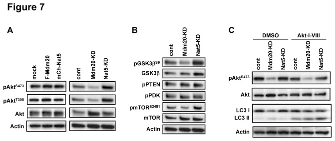 Mdm20 regulates the phosphorylation status of <t>Akt.</t> A. Western blots for Akt with a focus on phosphorylated Akt on Ser473 and Thr308. HEK293 cells were transfected either with mock, Flag-Mdm20 and mCherry-Nat5 or control, Mdm20 and Nat5 siRNA. At 48 hrs or 72hrs post-transfection, respectively, the cells were harvested, and cell lysates were prepared and processed for western blot analysis. The antibodies used are indicated. For details, see Materials and Methods. B. Western blots were used to determine the phosphorylation status of GSK3β, PTEN, PDK-1, mTOR, and <t>PP1.</t> The antibodies used were as indicated. Note that the phosphorylation of mTOR (Ser-2481) is consistently reduced in Mdm20-KD cells. C. Akt inhibition increases the levels of LC3II. Shown is western blots of HEK293 cellular extracts treated or untreated with siRNAs for Mdm20 or Nat5 in the absence (DMSO control) or presence of Akt inhibitor (Akt-I-VIII). Levels of Akt, and phospho-Akt (pAkt-Ser473), and LC3 levels are shown with the loading control of actin blot.