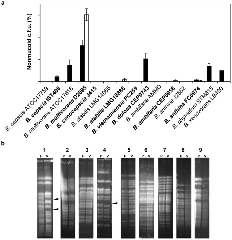 Morphotype variation among clinical and environmental isolates of Burkholderia . (a) The frequency of the nonmucoid morphotype was determined under prolonged stationary phase for 21 days (black bars) and in the presence of 2.5 times the MIC of ciprofloxacin of each mucoid isolate (white bars) after 7 days of static incubation at 37°C for Bc c isolates or 30°C for non- Bc c isolates. The data are based on mean values from the results of three independent cell cultivations. Error bars show SD. Clinical isolates are depicted in bold. (b) PFGE separation of the SpeI restriction fragments of the genomic DNA from the mucoid parental isolate (P) and the nonmucoid variant (V) of: B. cepacia IST408 (1); B. multivorans ATCC 17616 (2) and D2095 (3); B. stabilis LMG18888 (4); B. dolosa CEP0743 (5); B. ambifaria CEP0958 (6); B. anthina FC0974 (7); B. phymatum STM815 (8); and B. xenovorans LB400 (9). Arrowheads indicate differences in banding patterns.