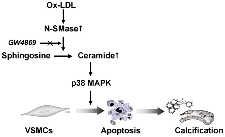 Proposed model for the regulatory interplay of Ox-LDL, N-SMase, ceramide and p38 MAPK during the process of VSMC calcification. Ox-LDL stimulates the activity of N-SMase, which results in increased levels of ceramide. As a result, the activated ceramide signaling stimulates p38 MAPK and triggers VSMC apoptosis, leading to VSMC calcification, which can be attenuated by GW4869 treatment.