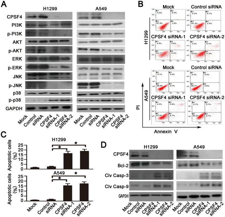 Knockdown of CPSF4 inhibits <t>PI3K/AKT,</t> MAPK signaling and activates caspase-dependent apoptotic pathway in H1299 and A549 cells. ( A ) At 72 hours after siRNA treatment, the expression of CPSF4 protein and the total and phosphorylated Akt, PI3K, ERK1/2, JNK and p38 proteins in H1299 and A549 was detected by Western blot. <t>GAPDH</t> served as the loading control. ( B ) Apoptosis in H1299 and A549 was determined by flow cytometry 72 h after siRNA transfection using an Annexin V-FITC/PI-staining kit. The representative data from three independent experiments are shown. ( C ) Apoptosis was calculated in terms of the FITC-positive in cells. Results are shown as the mean ± SD of three independent experiments (*, P