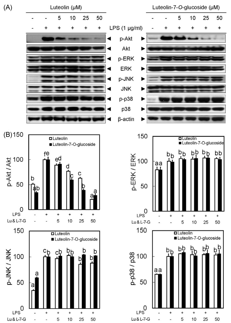 Luteolin and luteolin-7- O -glucoside inhibited phosphorylation of Akt in LPS-stimulated RAW 264.7 cells. Panel A shows protein expression levels of p-Akt, p-ERK, p-JNK and p-p38 in response to luteolin and luteolin-7- O -glucoside. All signals were normalized to protein levels of Akt, ERK, JNK and p38 internal controls, an expressed as a ratio (Panel B). Data represent the mean ± SD of triplicate experiments. Values sharing the same superscript are not significantly different at P