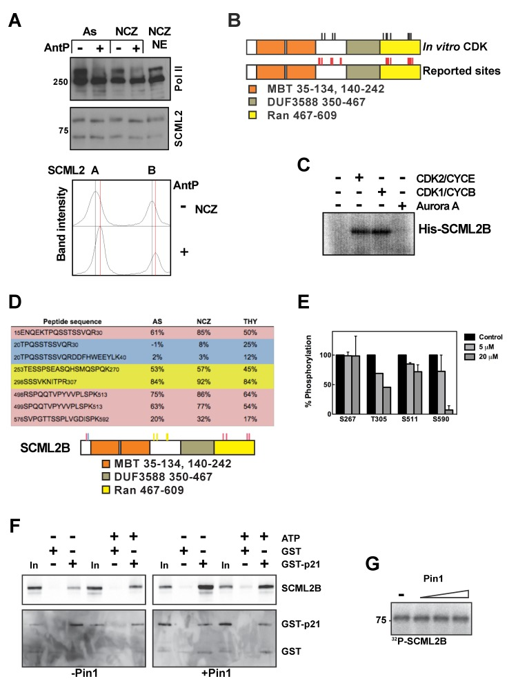 Expression and phosphorylation of SCML2 through the cell cycle. (A) Western blot analysis of nuclear extracts derived from HeLa cells growing asynchronously or arrested in mitosis with nocodazole, and incubated in the absence (−) or presence (+) of Antarctic phosphatase (top panel). The blot was probed for SCML2, and RNA polymerase II was used as a control. A densitometric analysis of the results is shown, with the positions of the peaks without phosphatase treatment indicated by a black line, and those derived from Antarctic phosphatase treatment with a red line (bottom panel). (B) Schematic representation of all the phospho-residues identified in the mass spectrometry analysis of SCML2B phosphorylated by CDK2/CYCE or CDK1/CYCB (black sticks). The phospho-sites of SCML2B previously identified in two phospho-proteomics reports are also shown (red sticks). (C) Autoradiography of SCML2B phosphorylated in vitro with CDK2/CYCE, CDK1/CYCB, Aurora kinase A, or in the absence of kinase, employing 32 P-γATP. (D) Quantification of the phosphorylation of SCML2B peptides from nuclear extracts of 293 cells growing asynchronously (AS) or arrested in mitosis with nocodazole (NCZ) and in S phase with thymidine (THY). Peptides with a higher level of phosphorylation in mitosis are highlighted in red, those with a higher level of phosphorylation in S phase are highlighted in blue, and those with a constant level of phosphorylation are highlighted in yellow. A schematic of SCML2B showing the phosphorylated residues is shown below. (E) Quantification of the phosphorylation of SCML2B peptides from nuclear extracts of 293 cells treated with increasing concentrations of Roscovitine for 8 h. (F) SCML2B was phosphorylated with CDK2/CYCE complexes in the absence (left panel) or presence (right panel) of Pin1, and the reaction was carried out with or without ATP, as indicated on top. After removing the CDK2/CYCE complexes in Ni-NTA column, SCML2B was incubated with GST alone or GST-p21. The p
