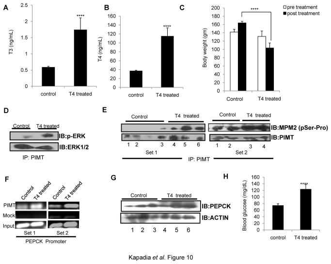 Thyroid hormone mediated ERK activation stimulates PIMT phosphorylation and enhances hepatic gluconeogenesis in rats. Rats (n=5) were injected intraperitoneally (0.1mL/animal) with L-thyroxine solution for 2 weeks. Post treatment animals were sacrificed, serum was collected for detecting levels of T 3 ( A ) and T 4 ( B ) and whole body weight ( C ) were measured. ( D ) PIMT immunoprecipitated lysates from liver tissue were analyzed by western blotting with phospho-ERK1/2 and total ERK1/2 antibodies. ( E )PIMT was immunoprecipitated from liver tissue lysates (Set1: 3 control and 3 treated; Set2: 2 control and 2 treated) separated on 10% SDS PAGE and probed with Anti-MPM2 followed by Anti-PIMT as mentioned. ( F ) Chromatin immunoprecipitation assay was performed in liver tissue lysates (one control and one treated in both Set1 and Set2) using Anti-PIMT or mock Anti-goat IgG on rat PEPCK promoter. ( G ) The liver homogenates were analyzed using Anti-PEPCK (top panel) or Anti beta actin (bottom panel). ( H ) Overnight fasting blood sugar was measured using glucose strip.