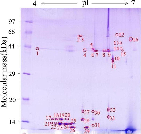 2-DE analysis of T. spiralis muscle larval surface proteins. 2-DE gel of surface proteins separated in the first dimension in the pH range 4–7 and then in the second dimension on a 12% polyacrylamide gel. The gel was stained with Coomassie blue R-250, molecular weight standard is on the left, and pI values are indicated. Protein spots selected for further analysis are numbered.