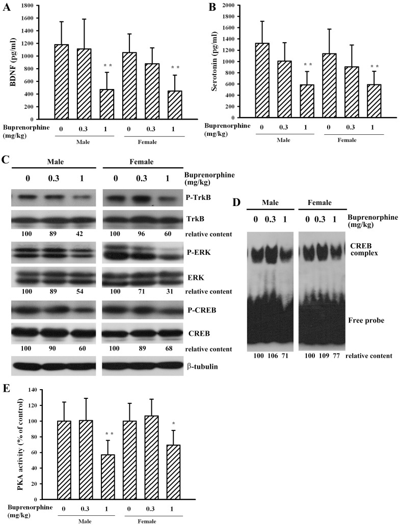 Buprenorphine decreased plasma BDNF and serotonin content and altered signaling molecule expression. Prenatal buprenorphine (0, 0.3, and 1 mg/kg/day) exposure was started from gestation day 7 and lasted for 14 days. After birth, the male and female pups were collected at postnatal day 21. Blood samples (n = 20 per group) were collected and subjected to ELISA for the measurement of BDNF (A) and serotonin (B). Brain cortical tissues were isolated. The obtained protein extracts (n = 5 per group) were subjected to Western blot analysis for the measurement of phosphorylated TrkB, TrkB, phosphorylated ERK, ERK, phosphorylated CREB, CREB, and β-tubulin (C). The obtained nuclear extracts (n = 5 per group) were subjected to EMSA for the measurement of CREB DNA binding activity (D). The protein extracts (n = 7 per group) were subjected to the enzymatic measurement of PKA activity (E). *p