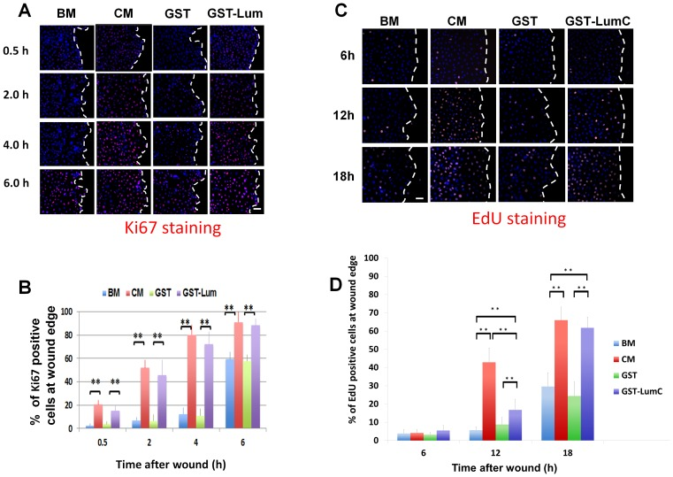 Administration of Lum lifts cell cycle suppression at the wound edge. Expression of Ki67, a marker of cells engaged in the cell cycle, was determined by immunostaining with an anti-Ki67 antibody at various time periods following wounding. (A) Images of Ki67 expression pattern Treatment with BM or BM+GST contained few Ki67 positive cells at the wound edge 0.5, 2 and 4 h after wounding but showed an increase in expression at 6 h. Treatment with CM and GST-Lum resulted in many Ki67 positive cells at all time points examined. Scale bar = 50 µm. (B) Graphical representation of the percentage of Ki67 positive cells at the wound edge (average±std, n = 12). (C) Representative images of EdU-labeled cells (cells in S-phase) at the wound edge. Few cells at the wound edge were EdU positive at 6 h and 12 h under the treatment of BM and BM+GST, while many EdU positive cells were seen in cells treated with CM and GST-LumC. Scale bar = 50 µm (D) Graphical representation of the percentage of EdU positive cells at the wound edge (mean±std, n = 4). No significant difference was seen at the 6 h time point. More cells at the wound edge enter S-phase 12 hours after wounding in CM and GST-Lum than those with BM and GST treatment. Statistical significance was analyzed by ANOVA. P value of