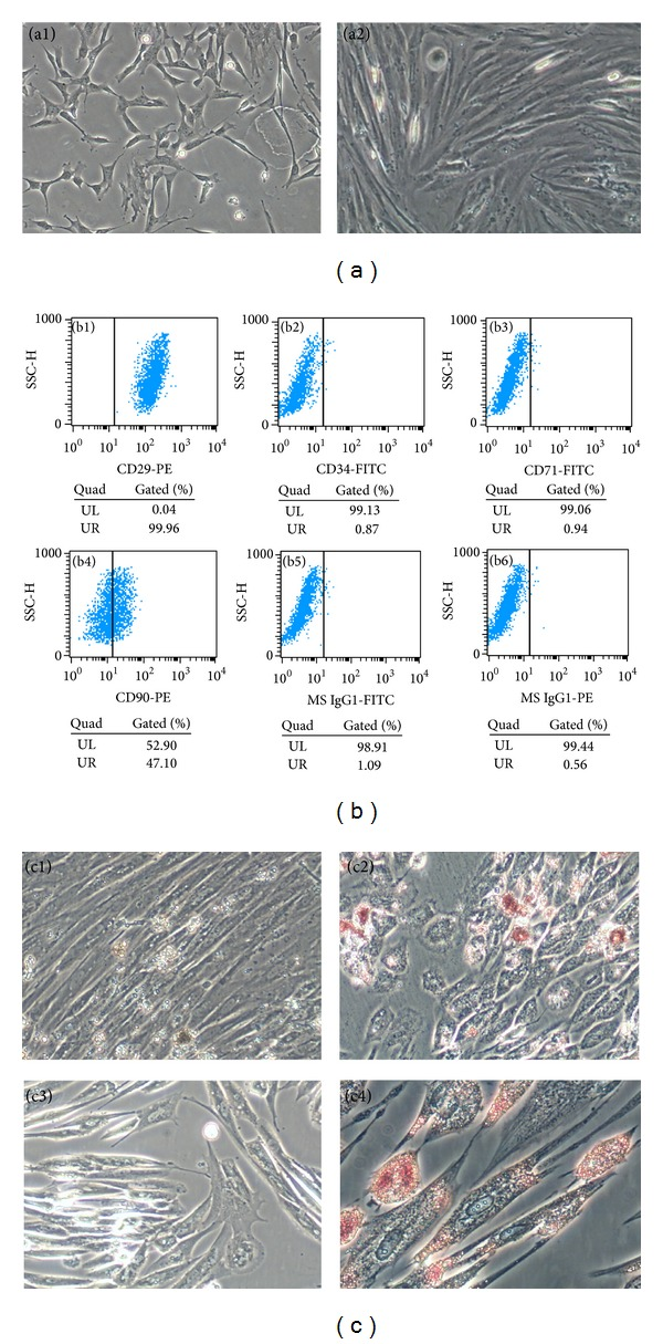 Characterization of adipose stem cell. The primary adipose stem cells exhibited a typical fibroblast-like morphology (a1) and were harvested at passage 3 (a2) for flow cytometry analysis. The results confirmed that the cells express CD29 (99.96%, b1), CD90 (47.1%, b4), CD34 (0.87%, b2), and CD71 (0.94%, b3). PE (0.56%, b5) and FITC (1.09%, b6) were performed as negative control. Oil Red O staining of lipid after differentiation for 28 days (before staining, c1; after staining, c2) and Alizarin Red staining of calcium after differentiation (before staining, c3; after staining, c4).