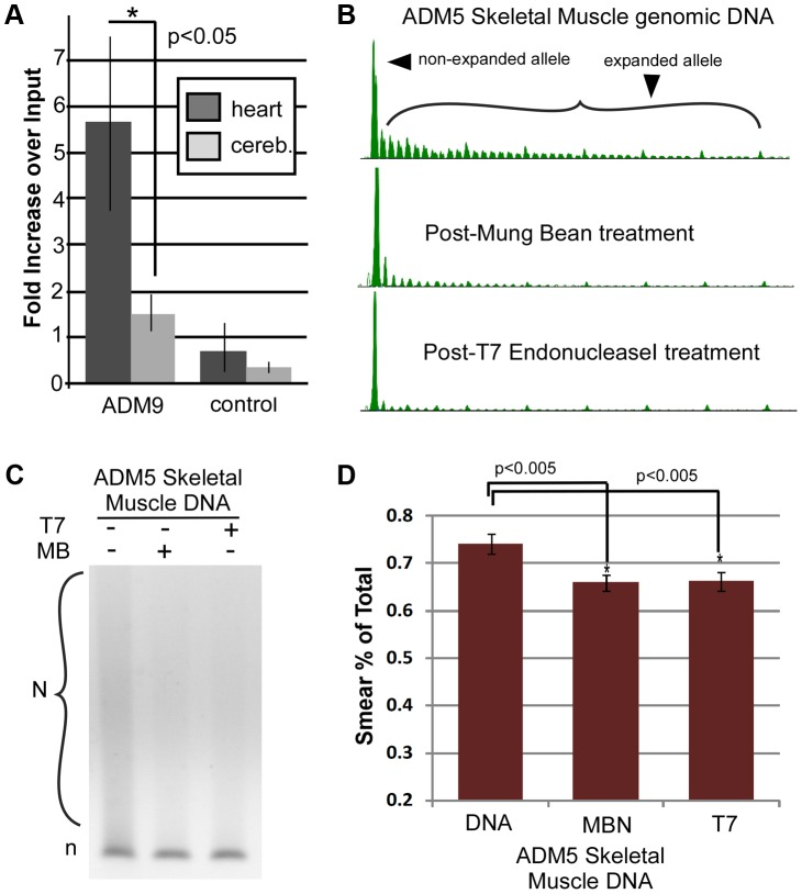 Quantitative and enzymatic analysis of patient DNA. ( A ) Quantitative competitive PCR revealed a significant increase in the amount IP'd/input from heart compared to cerebellum DNA of the same DM1 patient (unpaired two-tailed t-test, p = 0.03, n = at least 5 experimental replicates per treatment per tissue, on at least two genomic isolations). No significant difference was found between matched tissues of a non-DM1 individual. Details of quantitative competitive PCR and examples of the raw data are presented in Fig. S4 . ( B ) Sensitivity of DM1 patient DNAs to structure-specific enzymes. For enzyme location specificity, see Fig. S4D TP-PCR analysis of samples +/−digestions assessed by GeneScan or ( C ) agarose electrophoresis, show decreased signal of the expanded allele after T7endoI or MBN digestion, with control DNA showing no difference. ( D ) Quantification of MBN and T7endoI digestion. Untreated heart DNA compared to MBN-treated, paired t-test, p = 0.0015, and compared to T7endoI-treated, paired t-test, p = 0.0015, n = at least 5 experimental replicates per treatment, on at least two genomic isolations. For analysis of additional tissues see Fig. S4 . All errors bars indicate SEM, n = at least 5 experimental replicates per treatment per tissue, on at least two genomic isolations.