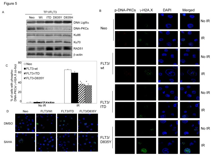 The effects of constitutively activated FLT3 mutants on end-joining DNA repair are associated with inhibited DNA-PKCs activity. (A) Immunoblot assay. Whole cell extracts from TF1 cells with stable expression of different forms of FLT3 were analyzed by immunoblot assays with anti-DNA LigIII, DNA-PKCs, Ku70, Ku86 and RAD51 antibodies. β-actin was included to confirm equivalent protein loading. (B) Representative images of the changes for nuclear phosphor-DNA-PKCs /γ-H2A.X co-foci in response to IR treatment. Engineered TF1 cells were irradiated with 1.2 Gy. Cells were collected one hour later for immunofluorescence staining with anti-γ-H2A.X (green) and anti-phosphor-DNA-pK (T2609, red). Nuclei were stained with DAPI (blue). Images were acquired with LSM 510 confocal microscope (Zeiss) with 80X objective and processed by Photoshop (Adobe). (C) Diagram shows changes in the fraction of cells with phosphor-DNA-PKCs/γ-H2A.X co-foci in engineered TF1 cells. (D) Expressing FLT3 mutants does not change the inhibitory effects of SAHA on the formation of RAD51/γ-H2A.X nuclear co-foci in irradiated TF1 cells. Engineered TF1 cells were collected 7 hours later after 1.2 Gy of irradiation, and immunofluorescence stained with anti-γ-H2A.X (green) and anti-RAD51 (red). Nuclei were stained with DAPI (blue). Error bars indicate standard deviation. * indicates significance (P