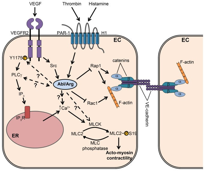 Model for the role of the Abl family kinases in signaling pathways regulating <t>endothelial</t> permeability. The Abl and Arg kinases are activated in endothelial cells downstream of receptors for the permeability-inducing factors VEGF, thrombin, and histamine. VEGF-mediated Abl kinase activation requires Src family kinase activity. The Abl kinases positively regulate phosphorylation of MLC2 (S19) in response to these permeability-inducing agonists, likely through regulating the activity of Ca 2+ /calmodulin-dependent targets such as MLCK. Abl kinase activity is required for maximal Ca 2+ mobilization in response to stimulation with permeability-inducing factors. The Abl kinases additionally modulate VEGF-induced phosphorylation of VEGFR2 at Y1175, which regulates downstream PLCγ activation, IP 3 generation, and ER Ca 2+ release. Abl kinases promote Ca 2+ mobilization by thrombin and histamine by mechanisms yet to be characterized. Abl kinases negatively regulate basal activity levels of the Rac1 and Rap1 GTPases, which have been shown to support endothelial barrier function by promoting cortical actin deposition and adherens junction stability. Abbreviations: EC, endothelial cell; VEGF, <t>vascular</t> endothelial <t>growth</t> <t>factor;</t> VEGFR2, VEGF receptor 2; Y, tyrosine; PAR-1, protease-activated receptor 1 (thrombin); H1, histamine H1 receptor; MLC2, myosin regulatory light chain; S, serine; MLCK, myosin light chain kinase; PLC, phospholipase C; IP 3 , inositol-1,4,5-trisphosphate; IP 3 R, IP 3 receptor; ER, endoplasmic reticulum.