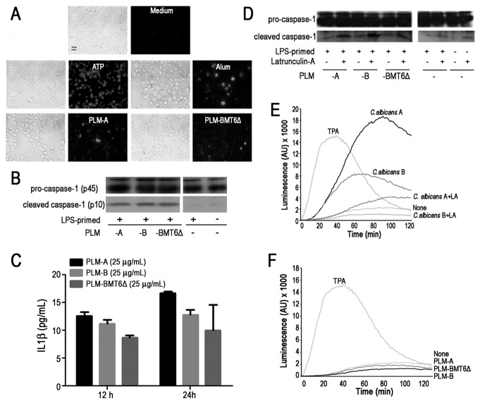 PLMs induce caspase-1 activation independent on ROS production. ( A - C ). J774 macrophages were primed with LPS (100 ng/ml) for 2h. Then, indicated stimuli were added and cells were cultivated for additional 4h. ( A ). Caspase-1 activation was revealed by addition of fluorescent FAM-YVAD-FMK and examined by fluorescent microscopy. Adenosine triphosphate (ATP) and Aluminum hydroxide (Alum) were used as positive control for caspase-1 activation. ( B ). Total pro-caspase-1 and cleaved caspase-1 levels were revealed by western blot analysis. ( C ). Production of IL-1β after stimulation with PLMs of LPS-primed cells was measured after 12- and 24h-incubation by ELISA. ( D ). Macrophages were pretreated or not with <t>Latrunculin-A</t> and then stimulated with indicated PLMs. Total pro-caspase-1 and cleaved caspase-1 levels were revealed by western blot analysis. Data are representative of 4 independent experiments. ( E and F ). Macrophages were pretreated or not with Latrunculin A for 30min. Live yeast cells at 5 yeast: 1 cell ratio ( E ) or PLMs (50µg/ml) ( F ) were then added. Chemiluminescence was monitored for 2h in the presence of 66 µM of 5-amino-2,3-dihydro-1,4-phthalazinedione (luminol). 12-O-tetradecanoylphorbol-13-acetate (TPA, 100 µM) was used as a positive control. Results are representative of 2 independent experiments.