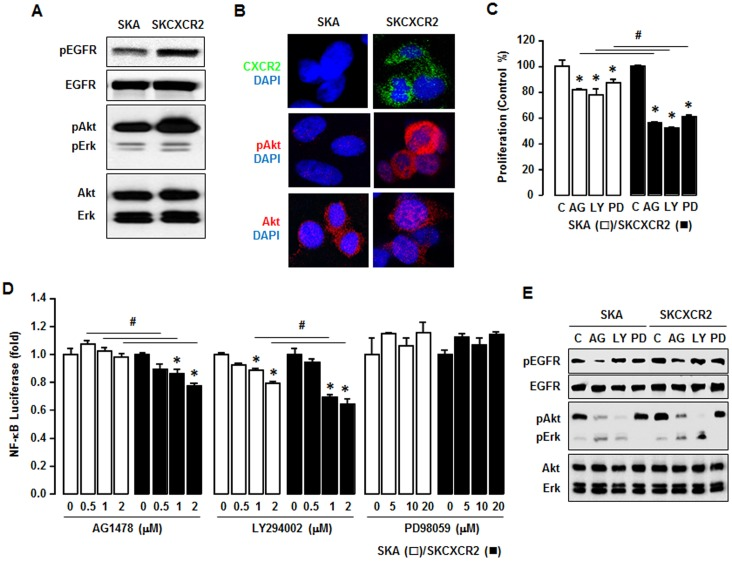 CXCR2 transactivates EGFR which contributes to NF-κB signaling via Akt activation. (A) Comparison of EGFR activation in SKA and SKCXCR2 cells. Whole cell lysates were prepared and Western blots carried out using antibodies specific to EGFR, Akt, Erk and the phosphorylated forms (pEGFR, pAkt and pErk). The non-phosphorylated forms were used as loading controls. (B) Representative immunofluorescent staining patterns indicating Akt activation and CXCR2 protein expression levels in SKA and SKCXCR2 cells. (C) Comparative effects of AG-1478, LY294002 and PD98059 on cell proliferation in SKA and SKCXCR2 cells. Cells were incubated with vehicle (Control), AG-1478 (AG, 2 µM), LY294002 (LY, 2 µM) or PD98059 (PD, 20 µM) for 48 h. The cell proliferation assay was performed using MTT and values were normalized to untreated controls. * and # (p≤0.05) when compared to Controls (C) and SKA cells, respectively, by Student's t -test. (D) Dose-dependent effects of EGFR downstream inhibitors on NF-κB luciferase activities in SKA and SKCXCR2 cells. After transfection with NF-κB luciferase vector overnight, cells were treated with AG-1478 (EGFR inhibitor, 0, 0.5, 1 and 2 µM), LY294002 (Akt inhibitor, 0, 0.5, 1 and 2 µM) or PD98059 (Erk inhibitor, 0, 5, 10 and 20 µM) for 4 h. * and # (p≤0.05) when compared to Controls (0 h) and SKA cells, respectively, by Student's t -test. All experiments were performed at least in triplicate and data are shown as mean ± S.E. (E) Confirmation of specific inhibitors on EGFR, Akt and Erk activation in SKA and SKCXCR2 cells. Cells were treated with AG-1478 (2 µM), LY294002 (2 µM) and PD98059 (20 µM) for 4 h. Whole cell lysates were prepared and a western blot was carried out using antibodies specific to EGFR, Akt, Erk and their phosphorylated forms (pEGFR, pAkt and pErk). Non-phosphorylated forms were used as loading controls.