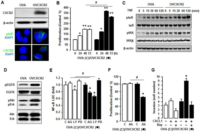 Confirmation of CXCR2-potentiated NF-κB signaling in OVCAR-3 cells. (A) CXCR2 protein expression in OVA versus OVCXCR2 cells. Western blot and immunofluorescent staining were carried out using antibodies specific to CXCR2 and β-actin as a loading control. (B) Comparison of growth rates in OVA and OVCXCR2 cells. Cells were incubated for 0, 24, 48 and 72 h and growth rates normalized to 0 h densities in each cell line. Experiments were performed in triplicate and all data are shown as mean ± S.E. * and ** (p≤0.05) in each group by ANOVA and Tukey's pairwise comparisons. # (p≤0.05) between OVA and OVCXCR2 cells by Student's t -test. (C) Effect of TNF (10 ng/ml) effects over time (0-120 min) on NF-κB activation in OVA and OVCXCR2 cells. Whole cell lysates were prepared and Western blots carried out using antibodies specific to IκB, IKK and their phosphorylated forms (pIκB and pIKK). β-actin was used as a loading control. (D) Comparison of EGFR activation in OVA and OVCXCR2 cells. Whole cell lysates were prepared and Western blots carried out using antibodies specific to EGFR, Akt, Erk and the phosphorylated forms (pEGFR, pAkt and pErk). The non-phosphorylated forms were used as loading controls. (E) Effects of EGFR downstream inhibitors on NF-κB luciferase activity in OVA and OVCXCR2 cells. After transfection with NF-κB luciferase vector overnight, cells were treated with vehicle (C), AG-1478 (AG, 2 µM), LY294002 (LY, 2 µM) or PD98059 (PD, 20 µM) for 4 h. (F) Effect of CXCL1/2/3 pan specific antibody for neutralization on cell proliferation in OVA and OVCXCR2 cells. Cells were incubated with normal IgG (C) and antibody (1∶100 dilution) for 48 h. The cell proliferation assay was performed using MTT and values were normalized to untreated controls. (G) Inhibitory effects of Bay11-7082 (2 µM) on CXCL1-induced cell invasion in OVA and OVCXCR2 cells. All experiments were performed at least in triplicate and data are shown as mean ± S.E. * and # (p≤0.05) as calculated by Student's t -test.