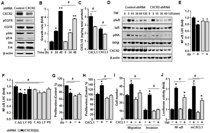 Inhibitory effect of CXCR2 shRNA on CXCR2-deriven cancer progression in SKCXCR2 cells. (A) Knockdown of CXCR2 protein expression and comparison of EGFR activation after transfection of Control and CXCR2 shRNA in SKCXCR2 cells. After transfection with shRNAs for control and CXCR2 for 72 h, a Western blot was carried out using antibodies specific to CXCR2, EGFR, Akt, Erk and the phosphorylated forms (pEGFR, pAkt and pErk). The non-phosphorylated forms and β-actin were used as loading controls. (B) Comparison of growth rates in Control (black bars) and CXCR2 shRNA (gray bars) transfected SKCXCR2 cells. Cells were incubated for 0, 24 and 48 h and growth rates normalized to 0 h densities in each cell line. Experiments were performed in triplicate and all data are shown as mean ± S.E. * and ** (p≤0.05) in each group by ANOVA and Tukey's pairwise comparisons. # (p≤0.05) between Control and CXCR2 shRNA transfected cells by Student's t -test. (C) Cellular CXCL1 and CXCL2 concentrations in Control and CXCR2 shRNA transfected cells. Whole cell lysates were prepared, an ELISA carried out using antibodies specific to CXCL1 and CXCL2 and values normalized to total protein. (D) Effect of TNF (10 ng/ml) over time (0–120 min) on NF-κB activation in Control and CXCR2 shRNA transfected cells. Whole cell lysates were prepared and Western blots carried out using antibodies specific to IκB, IKK and their phosphorylated forms (pIκB and pIKK). β-actin was used as a loading control. (E) Effect of CXCL1/2/3 antibody on NF-κB luciferase activities in Control and CXCR2 shRNA transfected cells. After transfection of shRNA for 48 h followed by transfection of NF-κB luciferase vector overnight, cells were incubated with normal IgG and the CXCL1/2/3 antibody (Ab, 1∶100 dilution) for 4 h. (F) Effects of EGRF downstream inhibitors on NF-κB luciferase activity in Control and CXCR2 shRNA transfected cells. After transfection of shRNA for 48 h followed by transfection of NF-κB luciferase vector overnight, cells were treated with vehicle (C), AG-1478 (AG, 2 µM), LY294002 (LY, 2 µM) or PD98059 (PD, 20 µM) for 4 h. (G) Effect of CXCL1/2/3 antibody on cell proliferation in Control and CXCR2 shRNA transfected cells. Cells were incubated with normal IgG and CXCL1/2/3 antibody (Ab, 1∶100 dilution) for 48 h. The cell proliferation assay was performed using MTT and values were normalized to untreated controls. (H) Effect of CXCL1 on cell proliferation in Control and CXCR2 shRNA transfected cells for 48 h incubation. (I) Comparison of CXCL1-induced cell migration and invasion in Control and CXCR2 shRNA transfected cells. (J) Effect of TNF on NF-κB and mCXCL1 promoter luciferase activities in Control and CXCR2 shRNA transfected cells. After transfection of shRNA for 48 h followed by transfection of NF-κB or CXCL1 promoter luciferase vector overnight, cells were treated with TNF (10 ng/ml) for 4 h. All experiments were performed at least in triplicate and data are shown as mean ± S.E. * and # (p≤0.05) as calculated by Student's t -test.