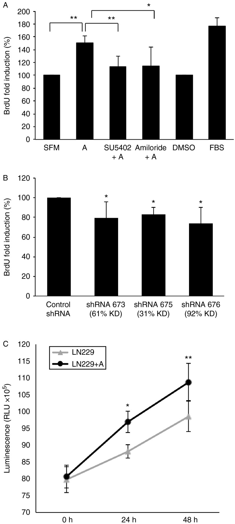 Effects of anosmin-1 in tumor cell proliferation. (A) LN229 cells were treated with anosmin-1 for 6 h with BrdU labeling during the last 2 h in serum-free conditions. In parallel experiments, cells were pre-treated with SU5402 or amiloride for 30 min before stimulation with anosmin-1. Anosmin-1-treated cells (denoted as A) show increased BrdU incorporation (** P =0.0035) compared with the untreated or solvent (DMSO)-treated cells. Pretreatment with SU5402 or amiloride, however, attenuated anosmin-1-induced proliferation (** P =0.0046 and * P =0.0423 respectively). At least five random fields were analysed, which were repeated four times. (B) shRNA-mediated knockdown of KAL1 results in reduced BrdU incorporation in A172. The P values obtained from four independent experiments are 0.0319 (for shRNA673), 0.019 (for shRNA675), and 0.05 (for shRNA676) when compared with the control shRNA. (C) LN229 cells treated with anosmin-1 indicate significantly higher proliferation in <t>CellTitre-Glo</t> luminescent assay, compared with the untreated control at 24 h (* P =0.0103) and 48 h (** P =0.0048) by a two-way ANOVA test. Error bars indicate s.e.m . from five independent experiments.