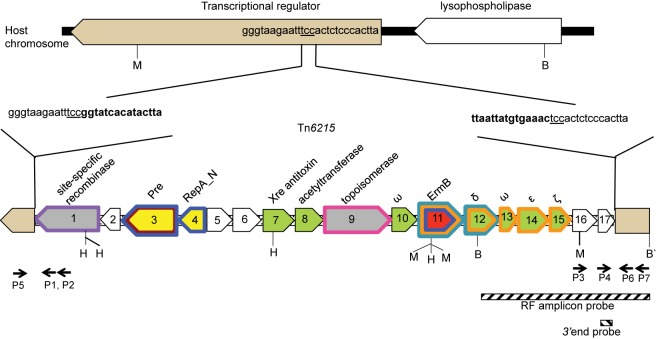 Genetic structure of Tn 6215 and site of host chromosome integration. In recipient strain <t>CD062,</t> a putative transcriptional regulator gene was uninterrupted. In donor strain CD80 and transductant strain CD062E1, Tn 6215 was integrated into the putative transcriptional regulator gene and the site of integration, TCC, was duplicated at either end. Predicted functional modules of the 13-kb transposon are color coded as follows: red, resistance; yellow, mobilization and replication; green, stability; gray, recombination; and white, indeterminate. Restriction sites are indicated as follows: B, BsrGI; H, Hyp99I; and M, <t>MfeI.</t> Probes used in this study are shown as hatched bars and are shown under their target regions. Homologues in other mobile elements and plasmids are indicated by colored outlines of putative genes as follows: purple, Tn 5397 ; brown, pMV158; blue, CTn BST ; pink, CTn DOT ; orange, pSM19035; and turquoise, Tn 5398 . Primers P1 to P7 flanking host and transposon junctions are indicated by black arrows.
