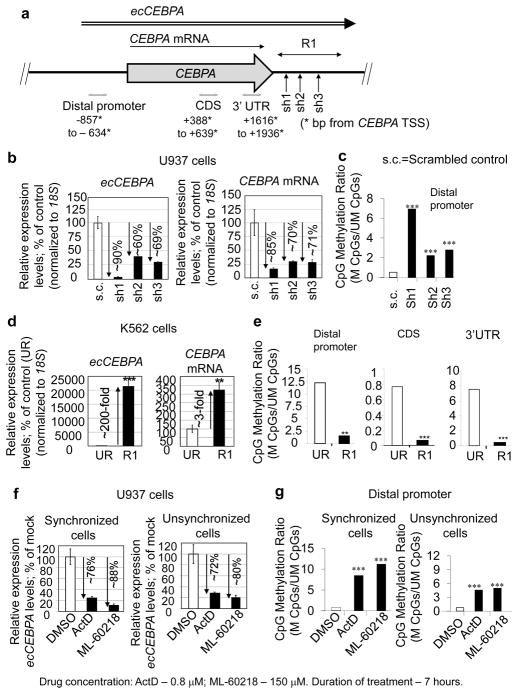 Loss- and gain-of-function studies demonstrate that ecCEBPA maintains CEBPA expression by regulating methylation of the CEBPA locus a , Diagram indicates: position of target sequences for shRNA constructs (sh1–3); the fragment derived from the ecCEBPA employed for overexpression (R1) regions analyzed for changes in DNA methylation (distal promoter; coding sequence, CDS; and 3′UTR); b–c , The results of ecCEBPA loss-of-function in CEBPA -expressing U937 cells. Effect of ecCEBPA -targeting shRNAs on CEBPA mRNA levels. qRT-PCR, bars indicate mean ± s.d. ( b ) and methylation of the CEBPA promoter ( c ). DNA methylation changes are shown as the ratios of methylated to unmethylated CpGs in all clones analyzed per each construct (n=14); d–e , The results of ecCEBPA gain-of-function studies in K562 cells, in which CEBPA is methylated and silenced. d , Effect of ecCEBPA upregulation on CEBPA mRNA levels. UR = unrelated region. qRT-PCR, bars indicate mean ± s.d. (n=4); e , Effect of ecCEBPA upregulation on methylation of the CEBPA locus (DNA methylation changes were assessed as described in c ; (n=14, for distal promoter; and n=6, for CDS, 3′UTR); f–g , The results of transcription inhibition in U937 cells. f, ec CEBPA expression levels after treatment with Actinomycin D and ML-60218 in synchronized and unsynchronized cells. qRT-PCR, bars indicate mean ± s.d.; g , DNA methylation changes after treatment with Actinomycin D and ML-60218 in synchronized (n=12) and unsynchronized (n=10) cells (assessed as described in c) . All bisulfite sequenced clones were analyzed by Fisher's exact test. * P