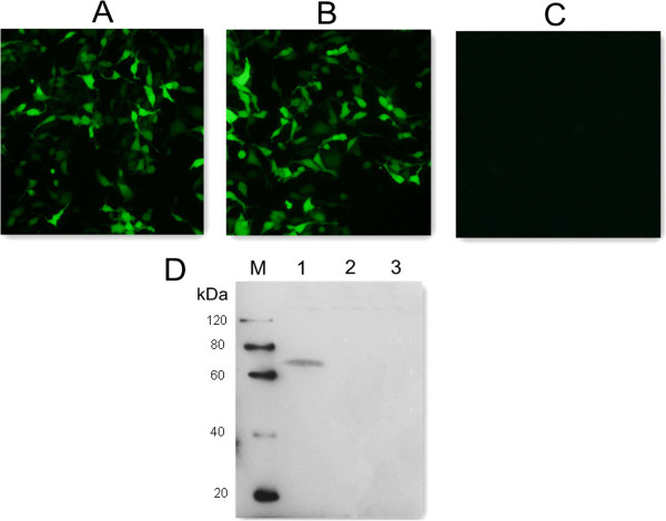 Fluorescence microscopy images of HEK293T cells and western blotting analysis. (A) HEK293 cells transfected with empty vector pEGFP-C1. (B) HEK293 cells transfected with pGRA4. (C) untransfected HEK cells. (D) protein marker (lane M), pGRA4-transfected cells (lane 1), pEGFP-transfected cells (lane 2), untransfected cells (lane 3).