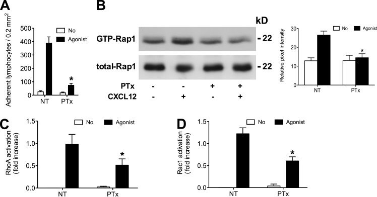 Heterotrimeric Gα i protein signaling is differently involved in Rap1A, RhoA, and Rac1 activation by CXCL12. (A) Static adhesion assay to ICAM-1. Lymphocytes were treated with buffer (not treated [NT]) or 2 µg/ml pertussis toxin (PTx) for 2 h and stimulated with 0.2 µM CXCL12 (agonist); four experiments in triplicate. (B, left) Rap1A activation was measured by pull-down assay. Lymphocytes were treated as in A and stimulated with 0.2 µM CXCL12; representative experiment of three. (right) The relative ratio of the band intensity of GTP-Rap1A was normalized to the level of total Rap1A intensity. (C and D) G-LISA assay detecting RhoA (C) and Rac1 (D) activation. Lymphocytes were treated as in A and stimulated with 0.2 µM CXCL12 (agonist). The percentage of fold increase of the RhoA and Rac1 activation was normalized to the level of NT intensity; mean of three experiments. Error bars show SDs. *, P