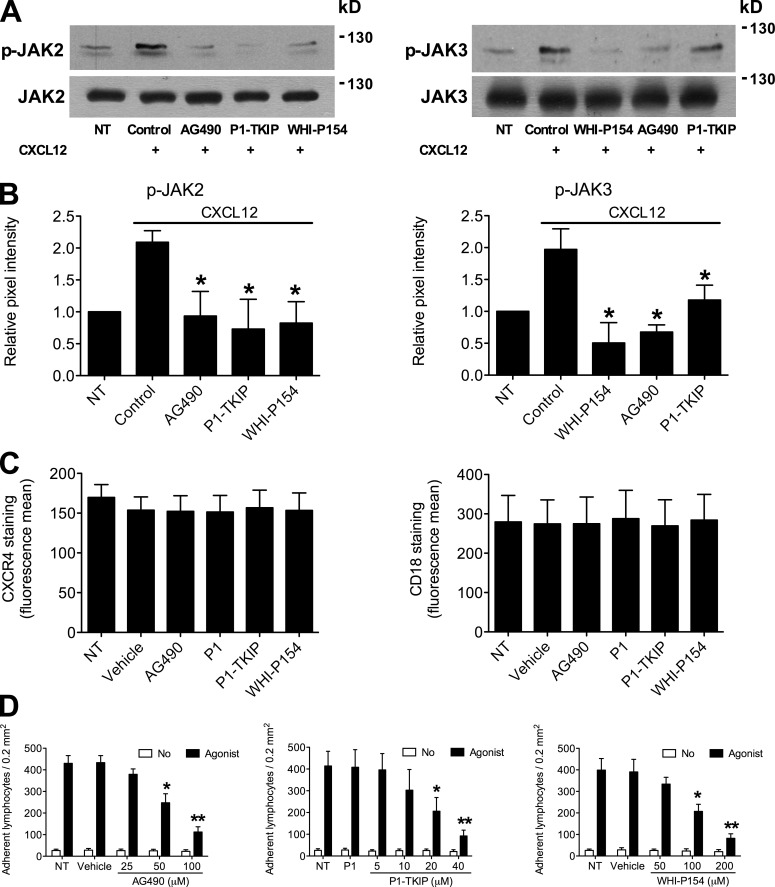 JAK2 and JAK3 control CXCL12-triggered LFA-1–mediated static adhesion to ICAM-1 of human primary T lymphocytes. (A) Effect of JAK inhibitors on JAK2 and JAK3 activation. Lymphocytes were treated with buffer (NT and control), 100 µM AG490, 40 µM P1-TKIP, or 200 µM WHI-P154 for 1 h and stimulated with 0.2 µM CXCL12 for 60 s. Lysates were immunoprecipitated with antiphosphotyrosine antibody and probed with anti-JAK2 (left) or anti-JAK3 antibody (right). The expression level of each protein was assessed in whole-cell lysates with anti-JAK2 or anti-JAK3 antibodies; representative experiment of three. (B) Quantification of immunoreactive bands. The relative ratio of the band intensity of phospho-JAK2 (left) and phospho-JAK3 (right) was normalized to the level of NT intensity. Mean values of three experiments for each protein. *, P